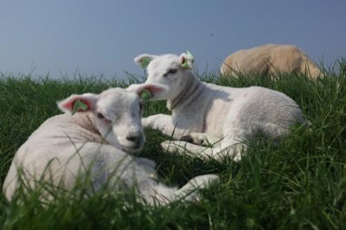 Carneirinhos -O que fazer na Holanda na primavera