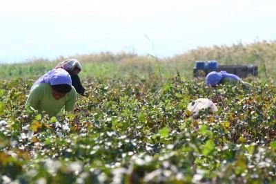 Turquia - colheita do algodão