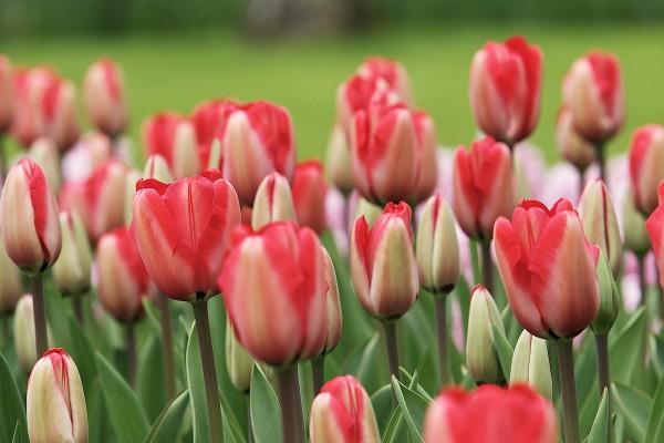 São 800 tipos de tulipas em todo o parque