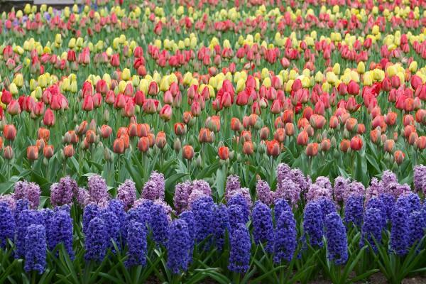 Keukenhof - parque de tulipas - Holanda - ©Bailandesa.nl